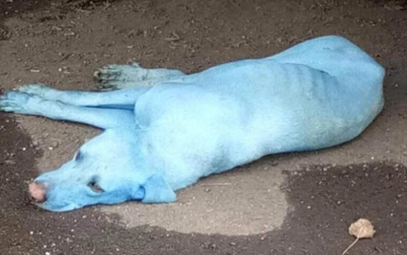 Descubra o mistério por trás dos cachorros azuis da Índia