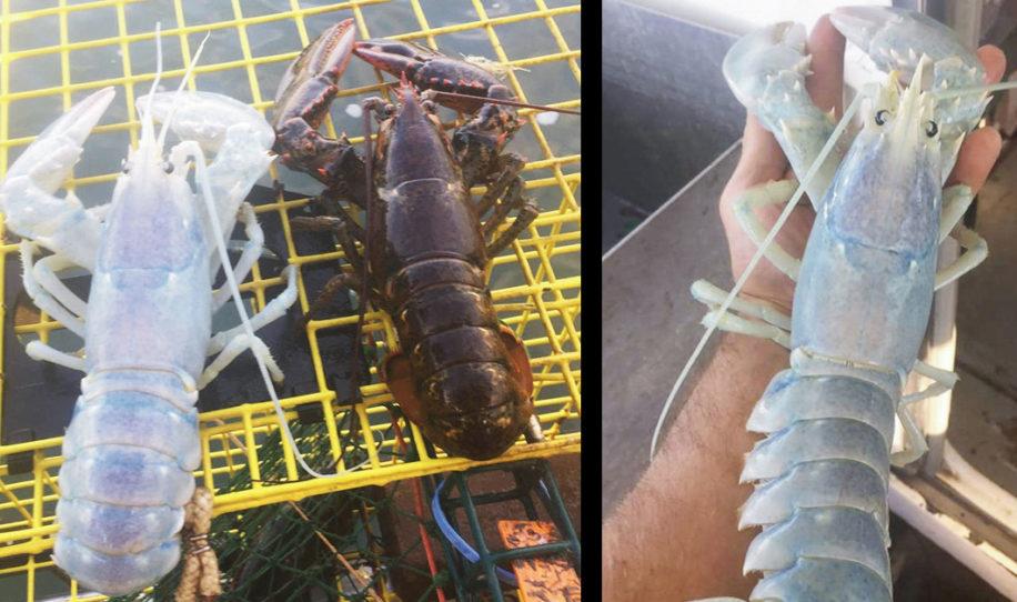 Pescadores capturaron una extraña langosta transparente y la tiran de inmediato al darse cuenta de su sexo