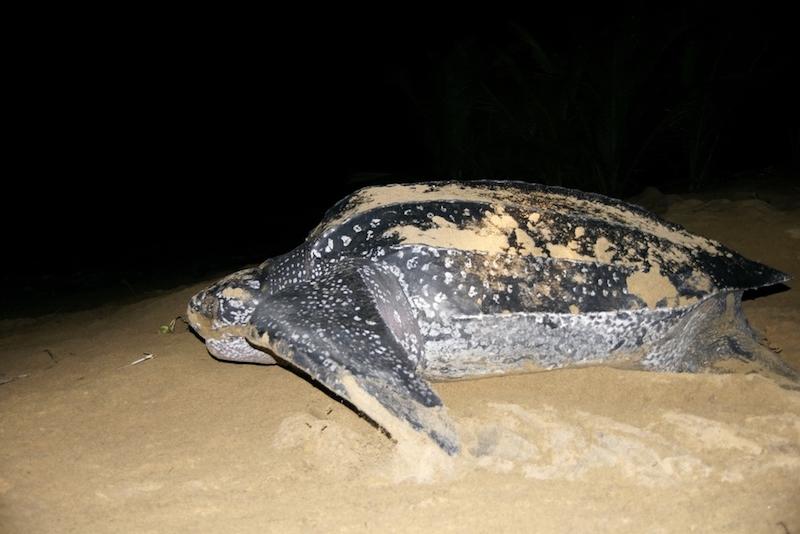 Encontraron a una tortuga tan gigante, que necesitaron usar maquinaria pesada para levantarla