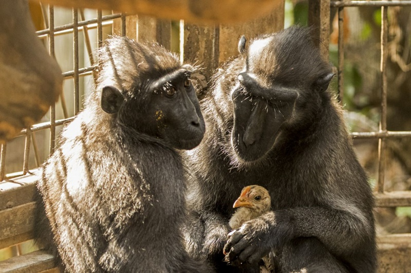 Macaca adota uma galinha e supera qualquer expectativa do reino animal