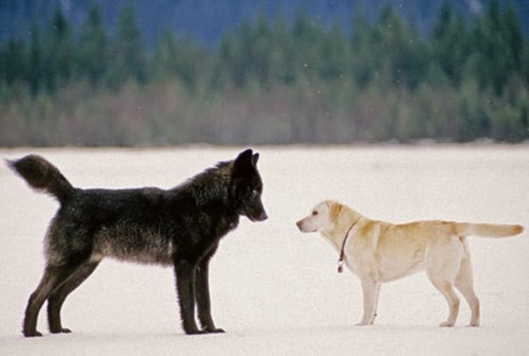 Tener Un Pug Es Apoyar La Crueldad Animal