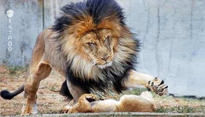 Este león no calculó sus fuerzas al jugar con su cachorro. Lo que hizo la leona fue ¡fantástico!