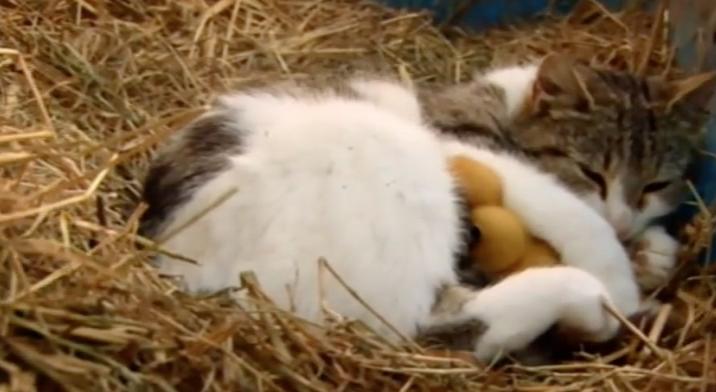 El gato de estos granjeros huyó con una camada de patos. Lo que hizo después fue insólito