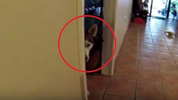 Se escondió sólo para hacer ESTO un rato después . ¡Sus dueños tienen que tener una vida muy graciosa con él!