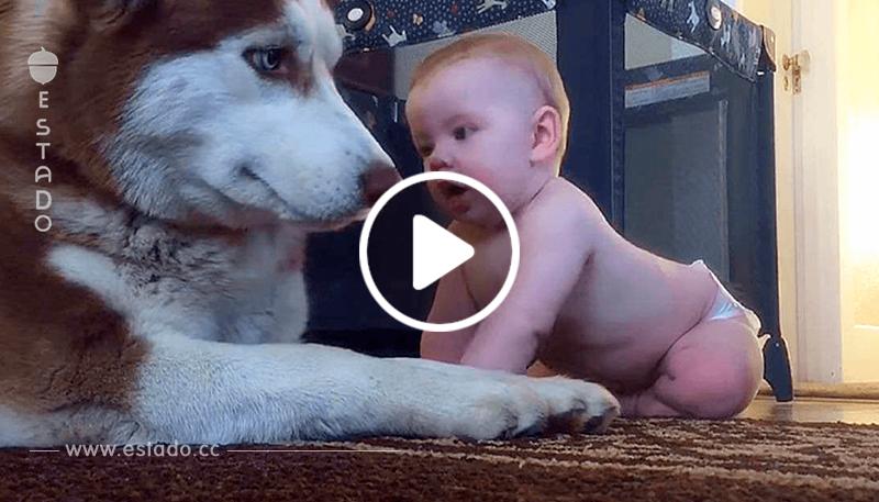 Un bebé gatea sobre un Husky para decir hola y la juguetona respuesta del perro ha derretido los corazones de todos