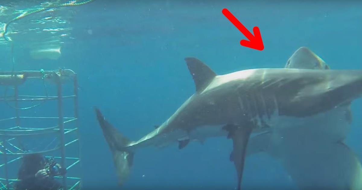 Un buzo estaba estudiando al tiburón blanco y acabó grabando algo tan increíble como peligroso