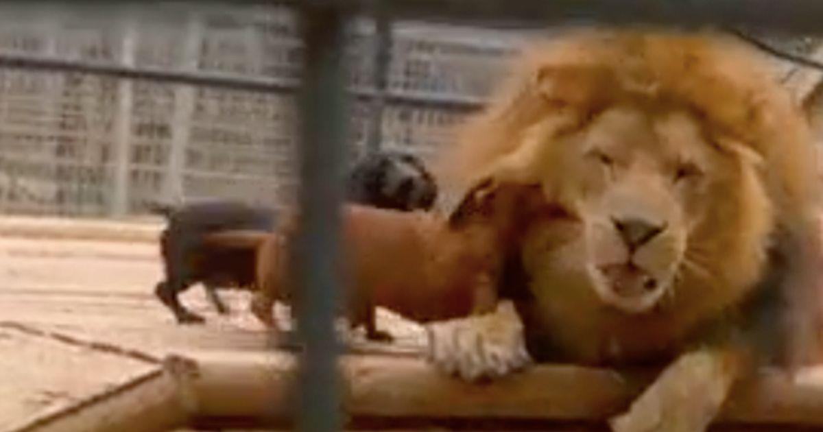 Dos perros salchicha atacan ferozmente a un león - La nube de algodón