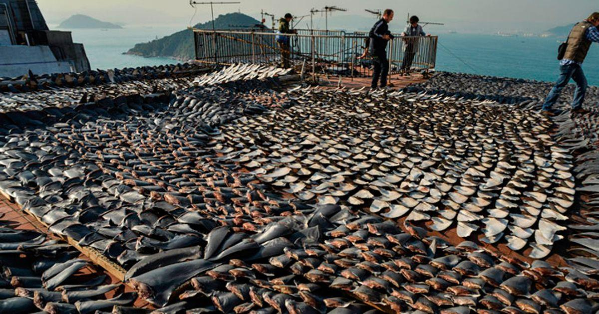 El comercio de las aletas de tiburón se ha convertido en una barbarie • La nube de algodón