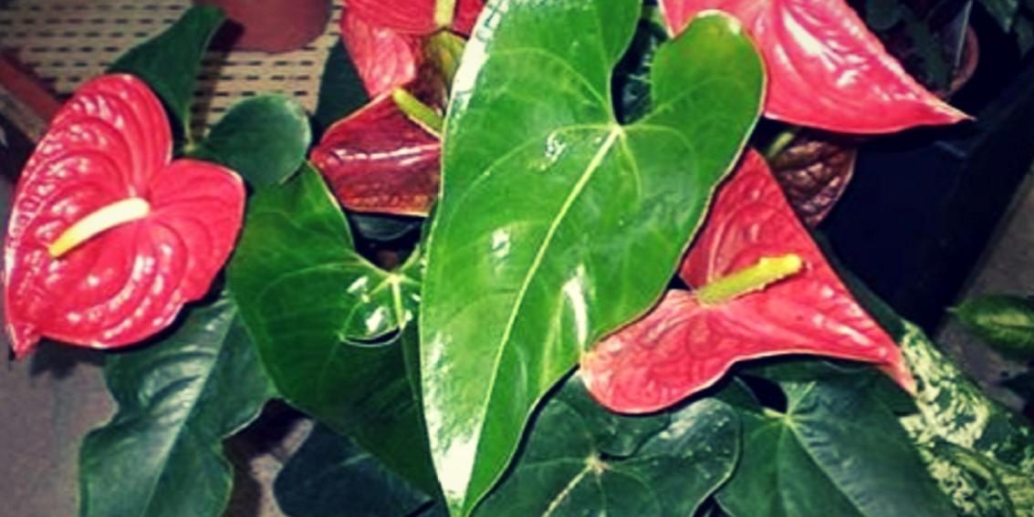 Si tienes una de estas plantas en tu casa entonces cuídala porque tienes un tesoro y ni cuenta te das