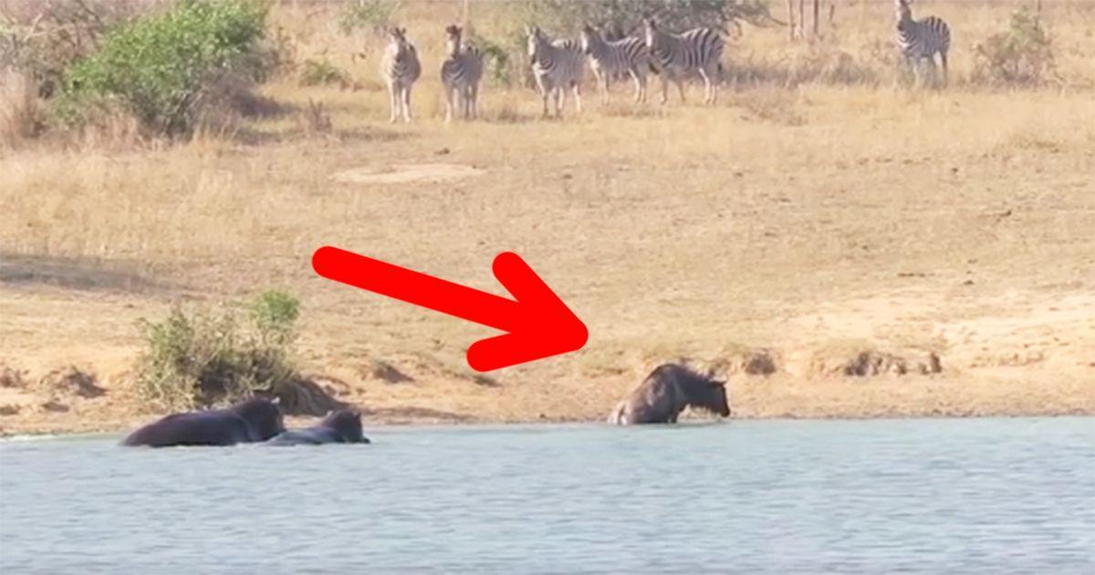 Dos hipopótamos salvan a un ñu de ser devorado por un cocodrilo • La nube de algodón