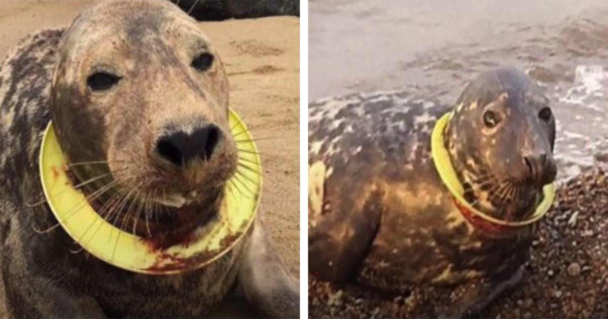 Una foca a punto de morir a causa de un aro que le seccionaba el cuello • La nube de algodón