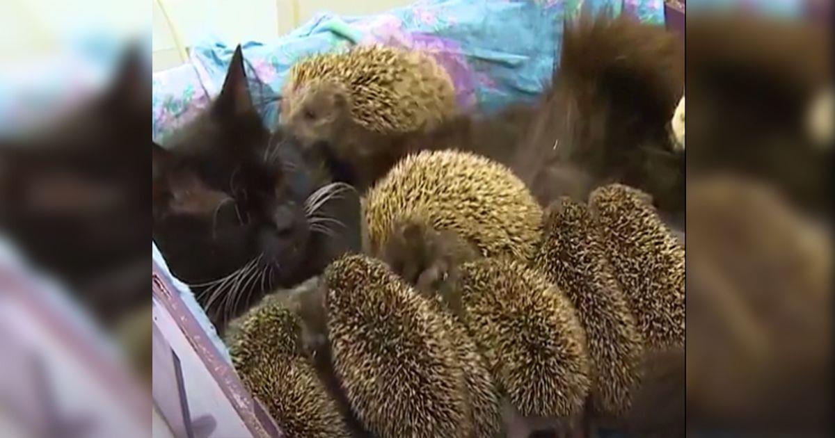 Los erizos bebés que se amamantan de una gatita • La nube de algodón