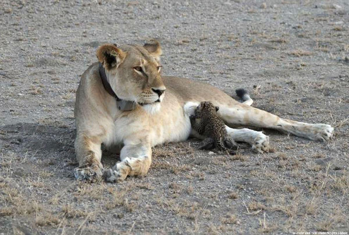 ¡Inusual!: una leona amamantando a un bebé leopardo • La nube de algodón
