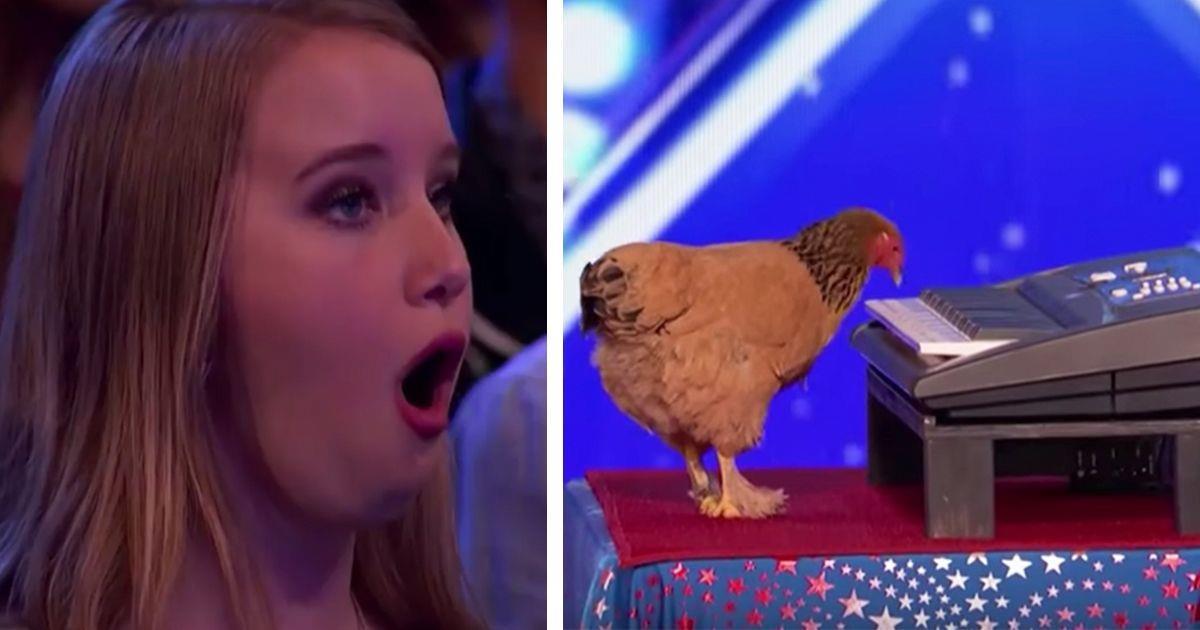 Esta gallina demuestra su talento con el piano en las audiciones de America's Got Talent • La nube de algodón