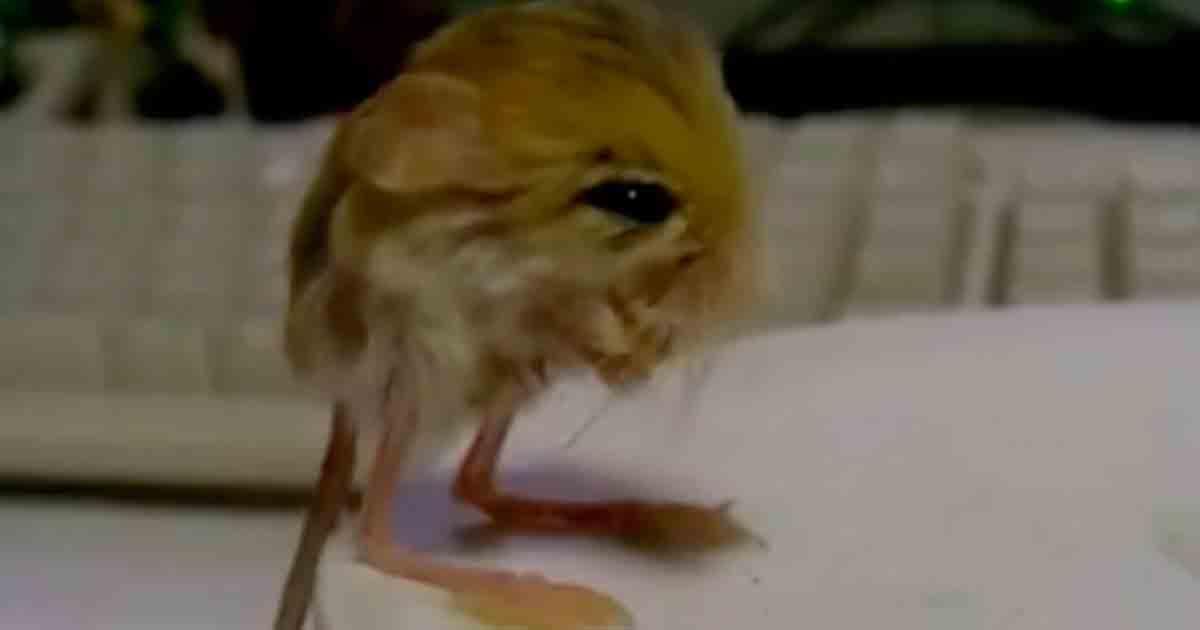 Conoce al jerbo pigmeo, un precioso animal fruto de la evolución