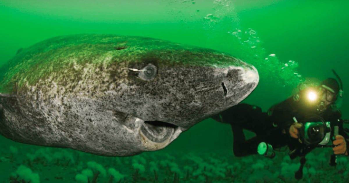 Este tiburón es el vertebrado vivo más longevo del mundo con 512 años