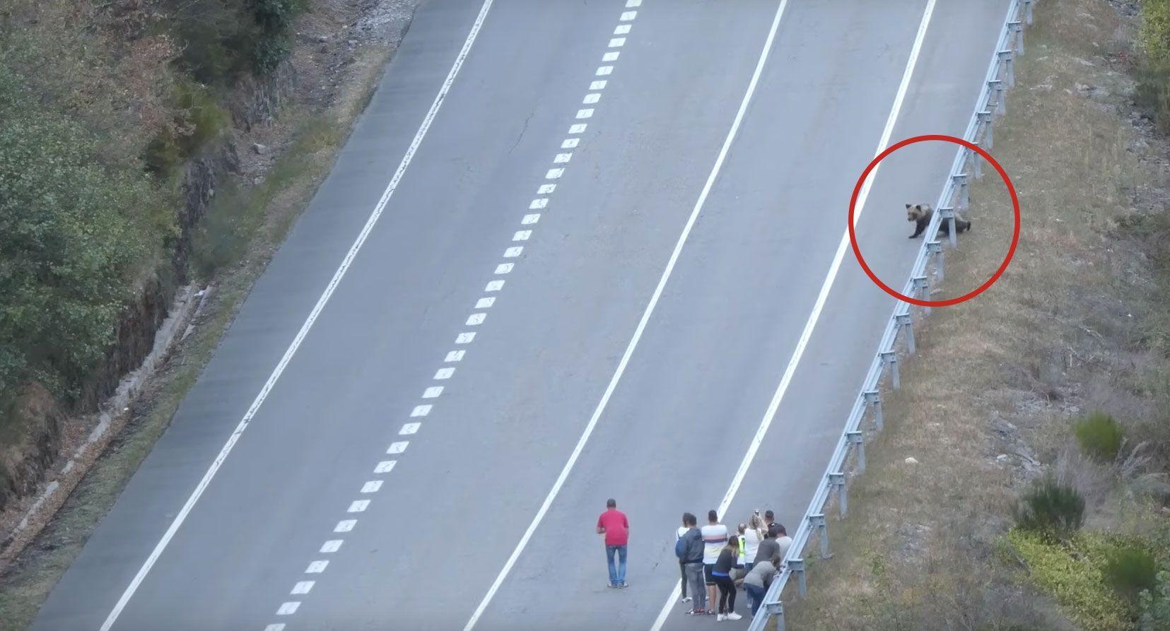 Turistas acosan a un oso pardo y acaba cruzando la carretera • La nube de algodón