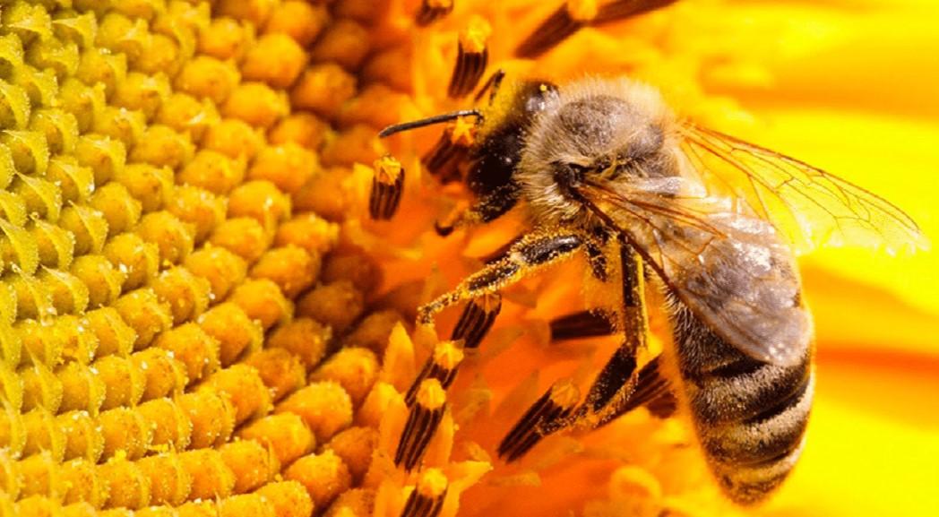 Declaran a las abejas como el ser vivo más importante del mundo