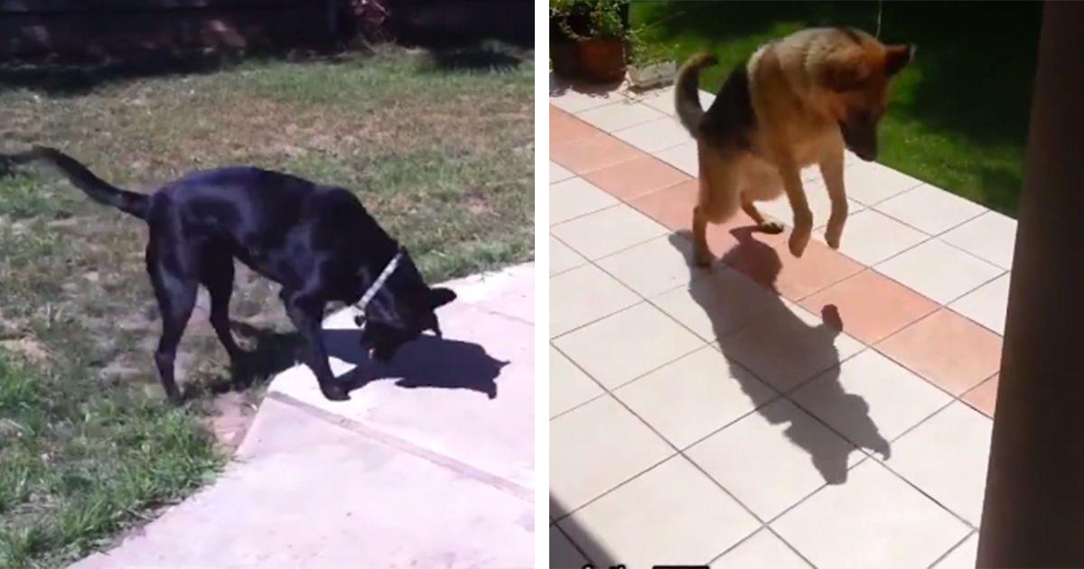 Los perros descubriendo a sus sombras, ¿enfado, confusión o juego? • La nube de algodón