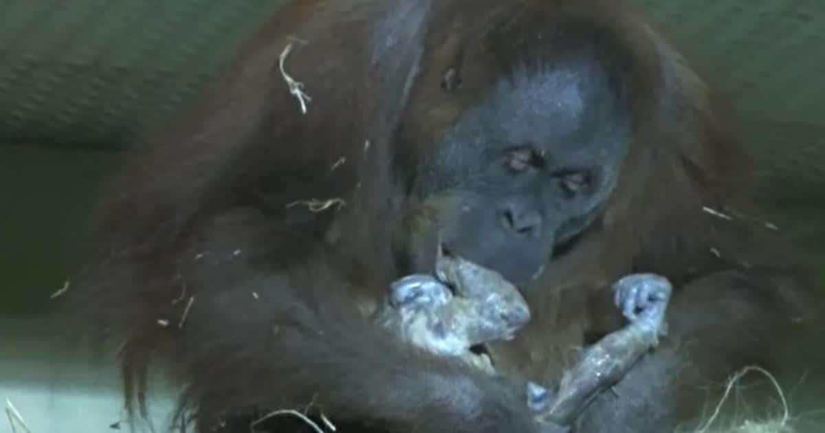 Orangután es grabada dando a luz, cuando se da cuenta que los humanos están mirándola, se empieza a acercar lentamente