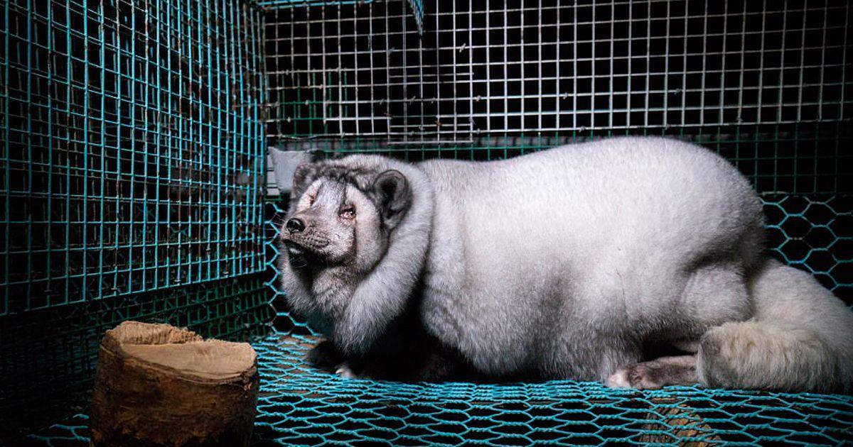 Miles de zorros árticos están maltratados y expuestos a experimentos químicos y genéticos • La nube de algodón