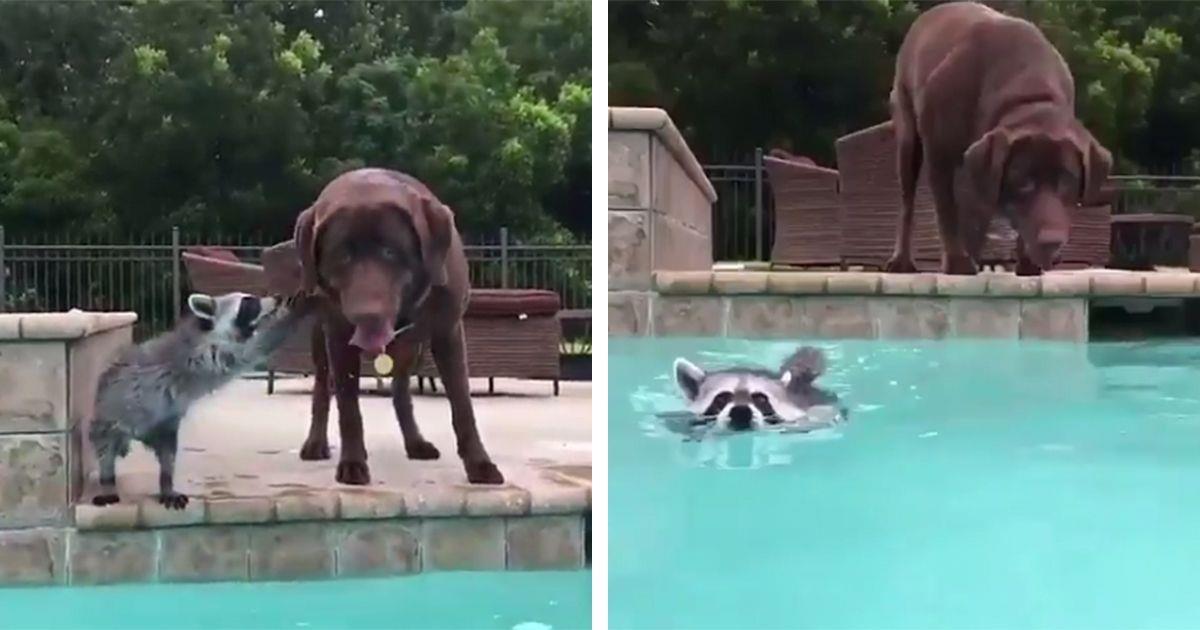 Un perro se lanza a la piscina a cuidar su amigo el mapache • La nube de algodón