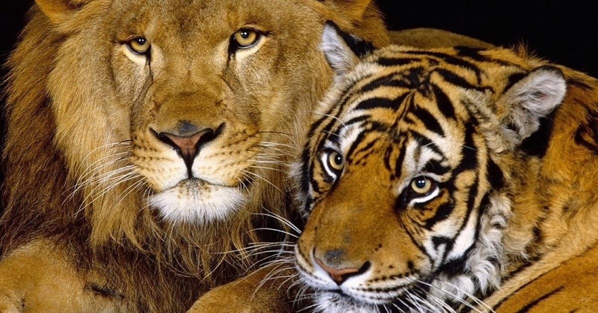 En Rusia se cruzó un león y una tigresa. Así nació un bebé