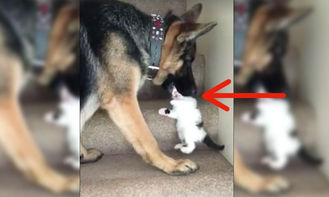 Este pastor alemán hace algo con un gato que te va a dejar sin respiración • La nube de algodón