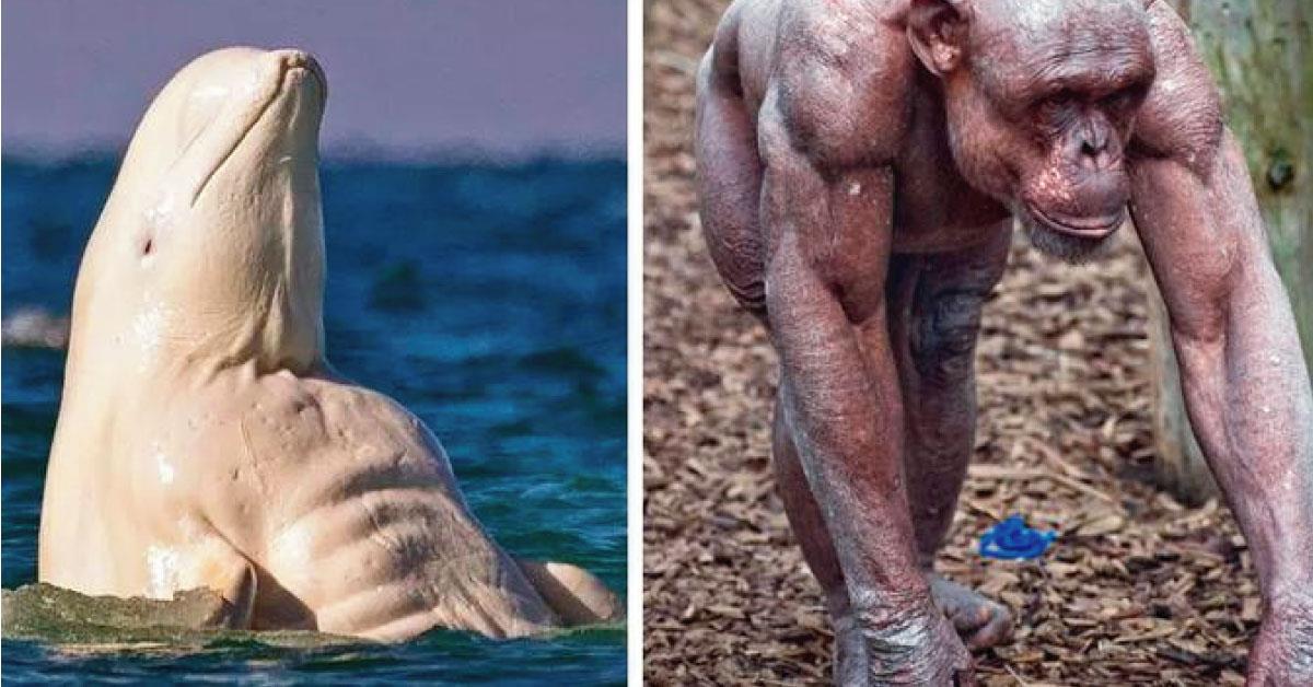 12 animales  musculosos  que impactan al mundo con sus cuerpos y son la envidia de fisicoculturistas
