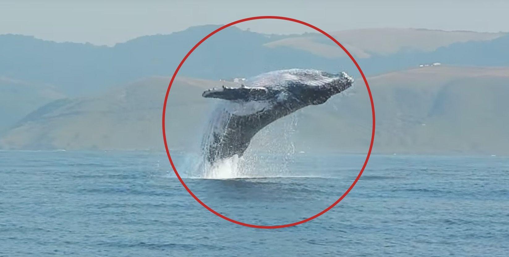 Espectaculares saltos de una ballena de 40 toneladas • La nube de algodón