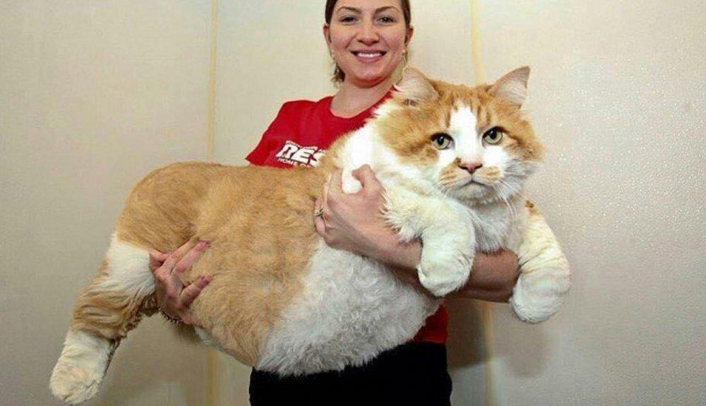 15 gatos gigantes muy reales que te van a hacer enamorarte de ellos