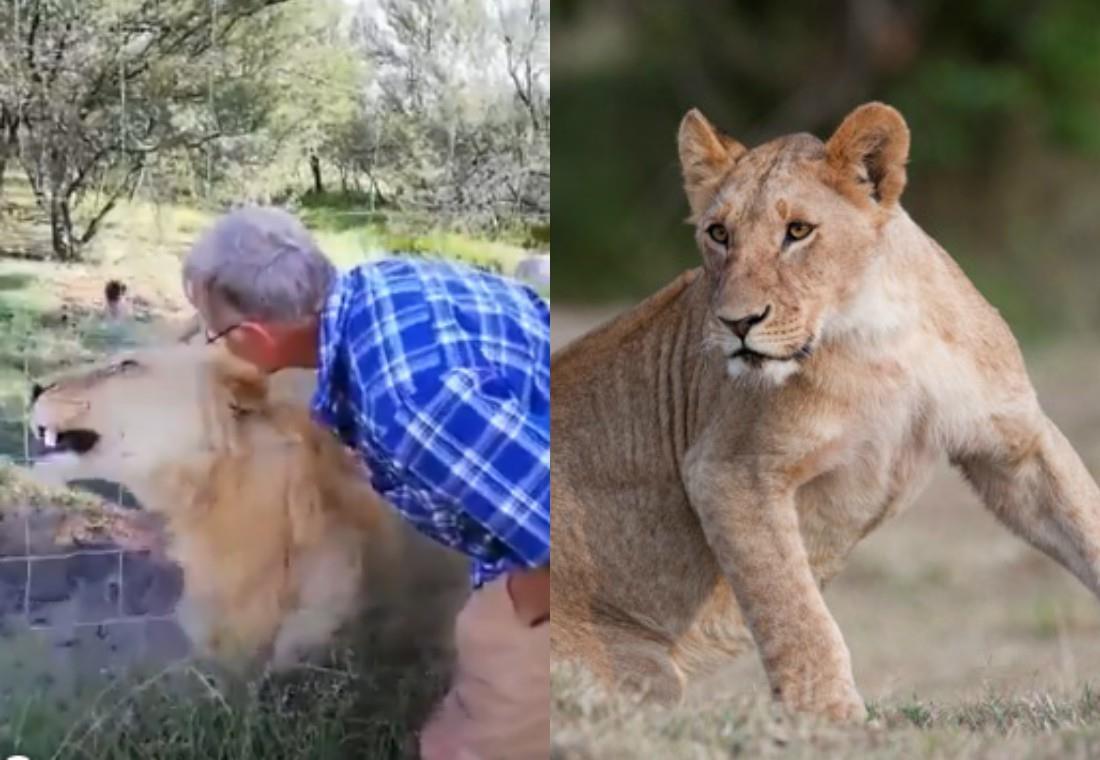 Turista casi pierde un brazo por acariciar a una leona en un parque natural