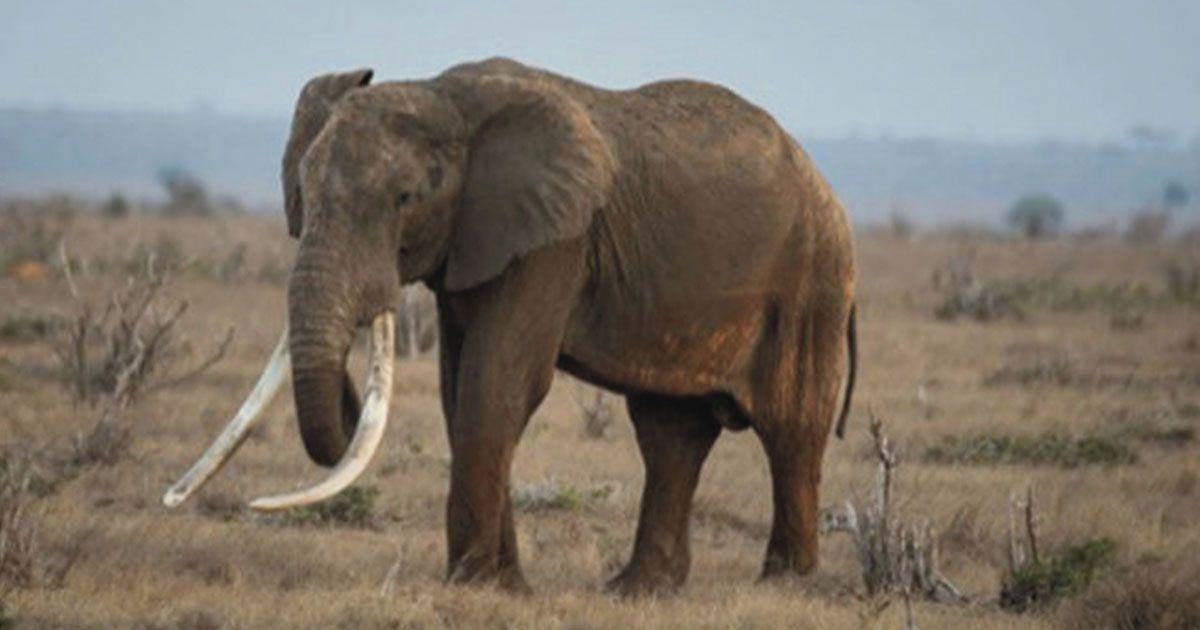 Furtivos asesinan a un elefante tusker en Kenia por sus colmillos • La nube de algodón