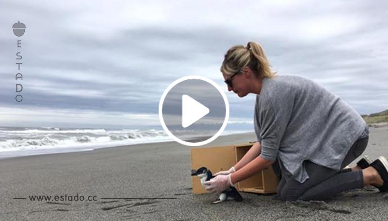 Este vídeo de un pingüino rescatado muestra su conmovedor adiós