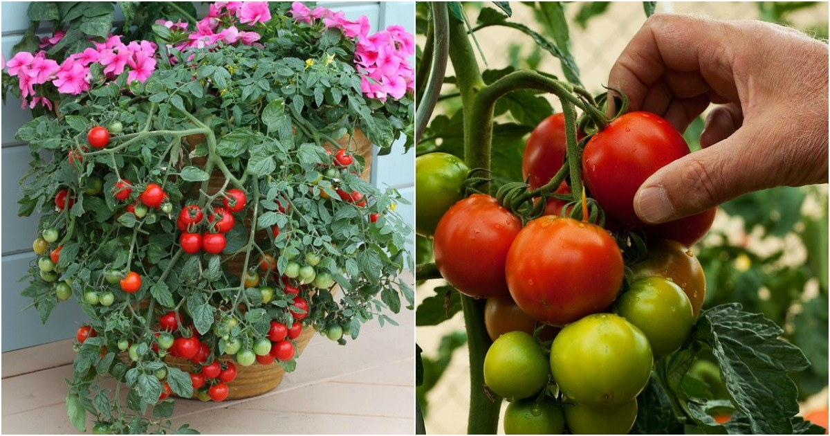 Sigue los 9 consejos básicos de un jardinero profesional para mejorar el cultivo de tomates en macetas y hacer que florezcan