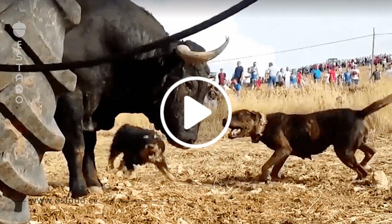 Perros contra un toro, otra lamentable tradición con la que debemos acabar • La nube de algodón