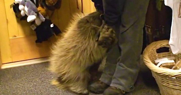 Criatura afectuosa que cree ser un cachorro se tira dramáticamente al suelo pidiendo que le rasquen la panza