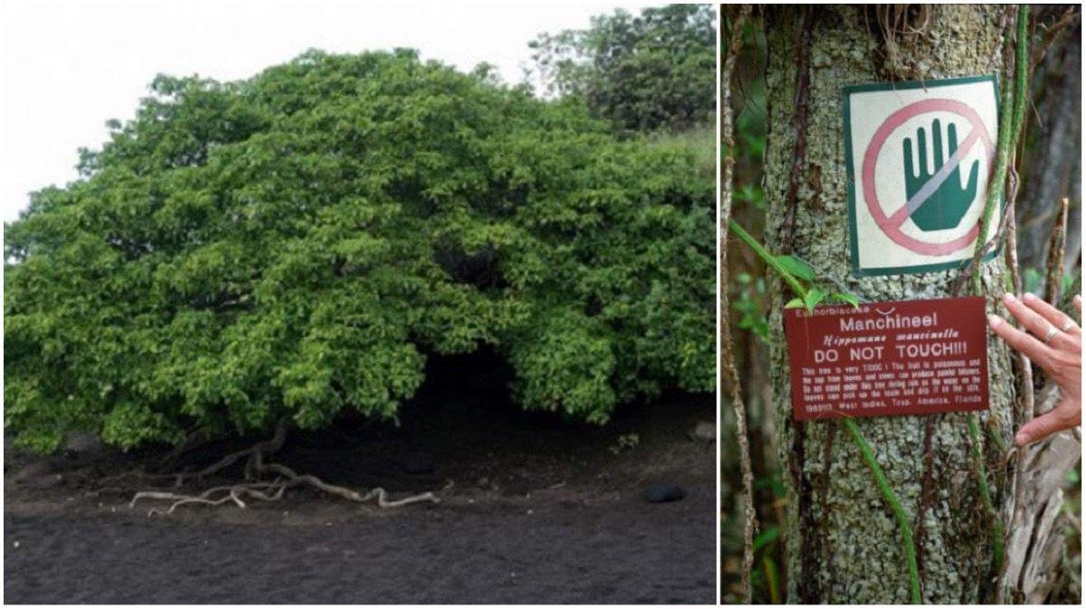 Se le conoce como el árbol de la muerte, y es el más peligroso del mundo