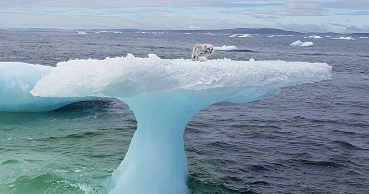 Un zorro polar estaba atrapado en un témpano a millas de la costa. Y entonces ve a los rescatistas.