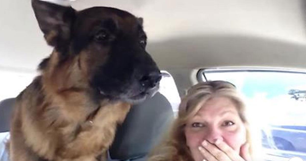 Pastor Alemán estaba sentado callado en el asiento trasero. ¡Hasta que se dio cuenta que llegó a la veterinaria!