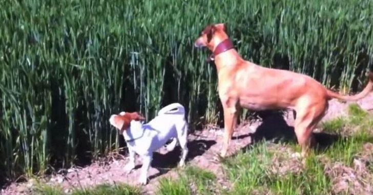 Perro escucha silbato en el campo, ¡segundos más tarde se mueve de manera tal que tiene a todos desternillándose de risa!