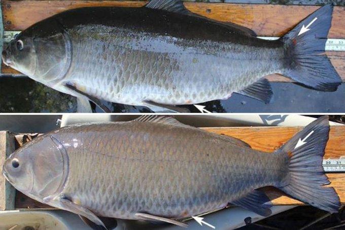 Científicos encuentran pez que cuadruplica la expectativa de vida de su especie con 112 años de edad