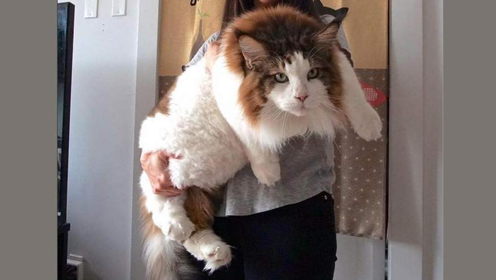Mininos gigantes, no te creerás el tamaño de estos gatos