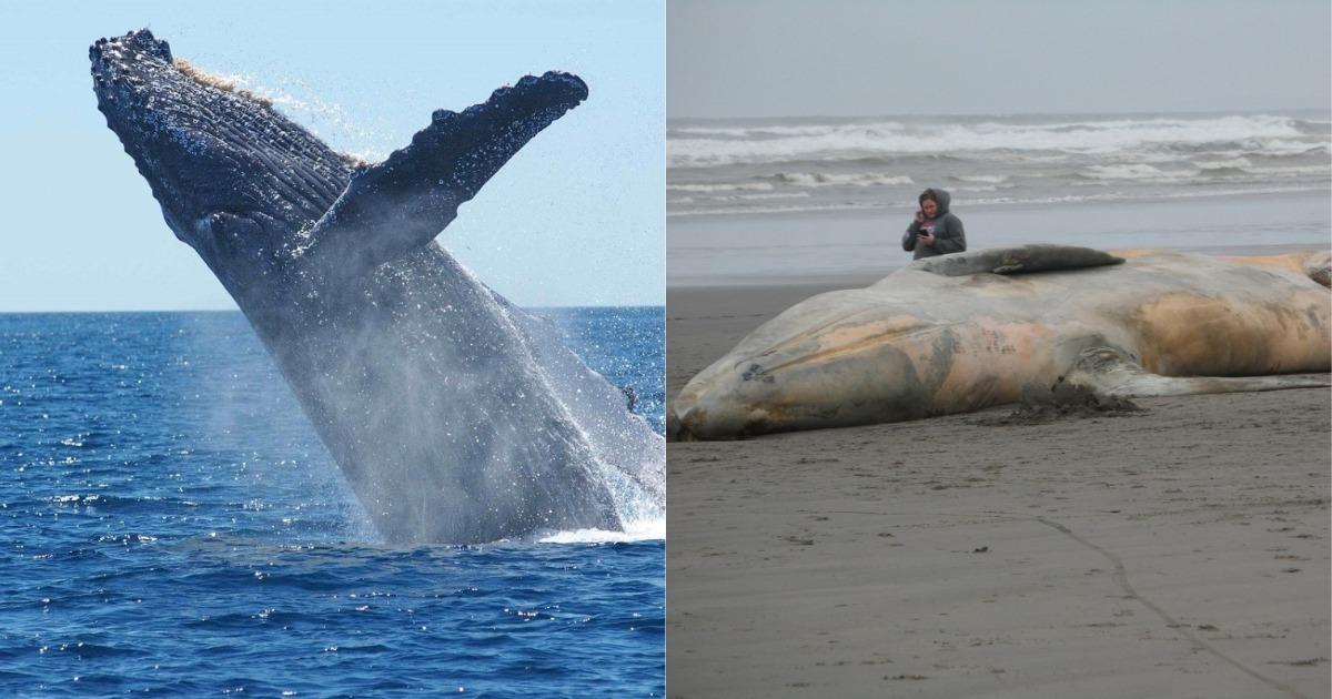 Pobladores, salvavidas y hasta pescadores lucharon por salvar a una ballena varada en redes de pesca