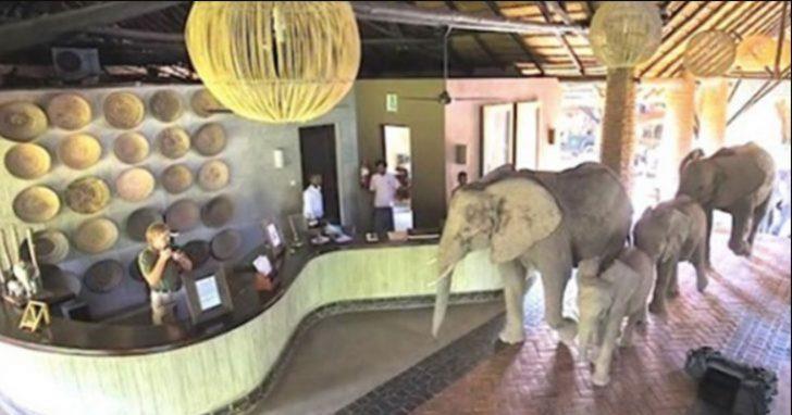 Manada de elefantes salvajes hace viaje anual a hotel con un único propósito