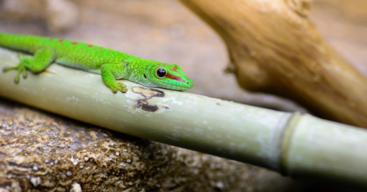 Fue al médico por tener dolor de oído y encontraron un lagarto vivo en su cabeza