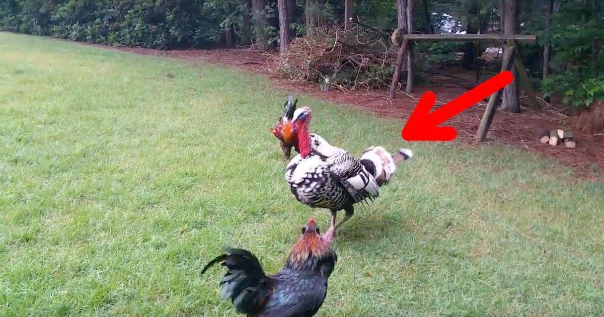Un pavo pone orden y evita la pelea de gallos   La nube de algodón