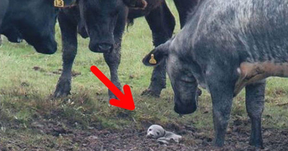 Un grupo de 30 vacas le salva la vida a una bebé foca
