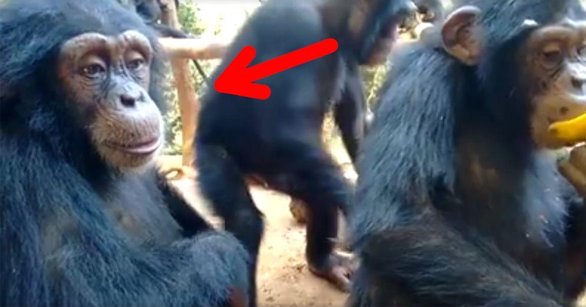 Un chimpancé con una mirada humana   La nube de algodón