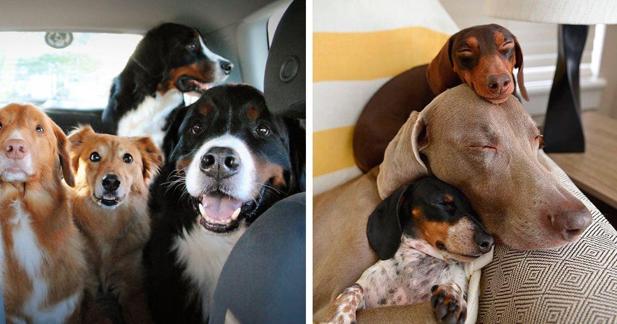 Situaciones que ocurren cuando hay más de dos perros   La nube de algodón